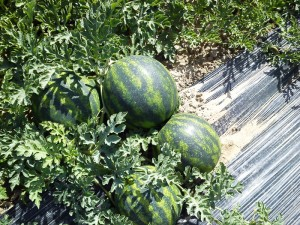 bostana-f1-watermelons-farm-fresh-panagoulias